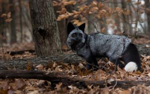 чернобурая лисица, животные, лисы, чернобурая, лисица, black, fox, чернобурка, псовые, лисицы, млекопитающие, мех, пушнина, чёрная, лиса, хищник