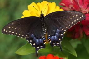 papilio machaon, животные, бабочки,  мотыльки,  моли, papilio, machaon, махаон, чешуекрылые, парусники, хвостоносцы, бабочка, чёрный