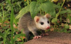 opossum, животные, опоссумы, опоссум, опоссумовые, зверёк, мех, хвостик, мордочка, млекопитающие