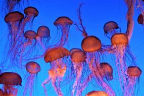 животные, медузы, медуза, подводный, мир, организм, море, океан, вода, гидроидные, сцифоидные
