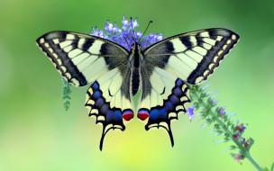 makhaon, животные, бабочки,  мотыльки,  моли, бабочка, махаон, чешуекрылые, парусники, хвостоносцы, махаоны, насекомые