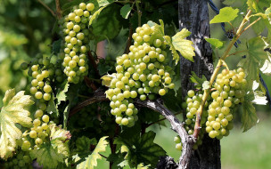 природа, ягоды,  виноград, виноград, зеленый