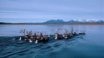 животные, олени, аляска, олень, alaska, kobuk, река