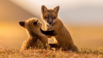 лисята, животные, лисы, лисица, рыжая, обыкновенная, псовые, лисицы, млекопитающие, мех, пушнина, лиса, хищник