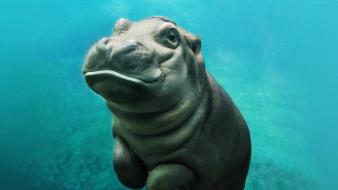 бегемотик, животные, бегемоты, детёныш, бегемот, hippopotamus, млекопитающие, китопарнокопытные, бегемотовые, клыки, пасть, вода