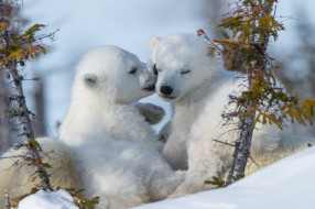 белый полярный медведь,  медвежата, животные, медведи, белый, медвежата, медвежонок, полярный, медведь, хищники, медвежьи, млекопитающие, снег, мороз, льды, шерсть, когти, пасть, клыки