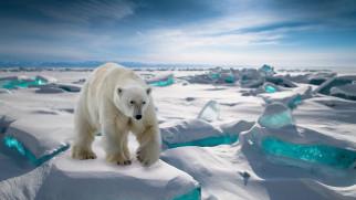 белый полярный медведь, животные, медведи, белый, полярный, медведь, хищники, медвежьи, млекопитающие, снег, мороз, льды, шерсть, когти, пасть, клыки