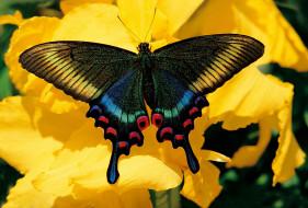 парусник маака, животные, бабочки,  мотыльки,  моли, парусник, маака, махаоны, чешуекрылые, хвостоносцы