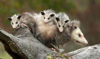 possums, животные, опоссумы, детёныши, opossum, опоссум, опоссумовые, зверёк, мех, хвостик, мордочка, млекопитающие