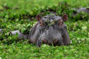 бегемот, животные, бегемоты, hippopotamus, млекопитающие, китопарнокопытные, бегемотовые, клыки, пасть, вода