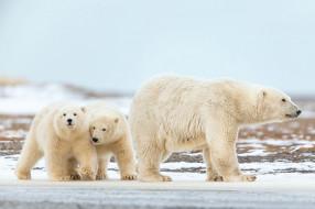 белый полярный медведь,  медведица с медвежатами, животные, медведи, белый, медвежата, медвежонок, медведица, полярный, медведь, хищники, медвежьи, млекопитающие, снег, мороз, льды, шерсть, когти, пасть, клыки
