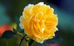 макро, роза, желтая
