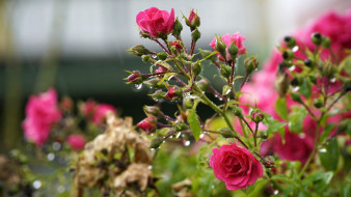 куст, розы, розовые, капли