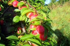 природа, плоды, сливы