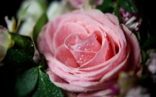 бутон, роза, розовый, капли, макро