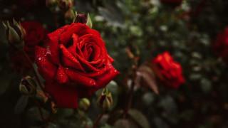 алая, роза, капли