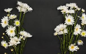 белые, хризантемы