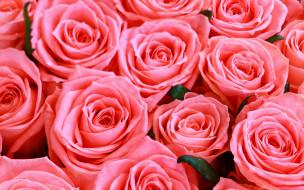 розовые, розы, бутоны