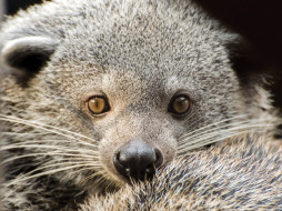 binturong, животные, бинтуронги, бинтуронг, млекопитающие, виверровые, хищники, шерсть, морда, когти, хвост