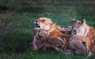 животные, львы, family, story