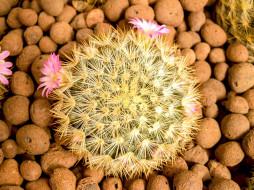 цветы, кактусы, колючки