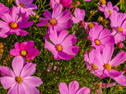 цветы, космея, розовая
