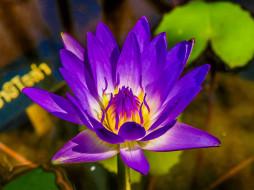 цветы, лотосы, лиловый, лотос, макро