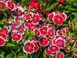 цветы, гвоздики, шабо