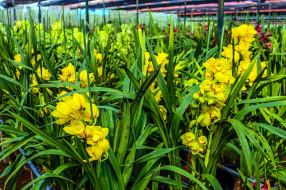 желтые, орхидеи