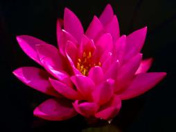 цветы, лотосы, розовый, лотос, макро