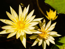 цветы, лотосы, лотос