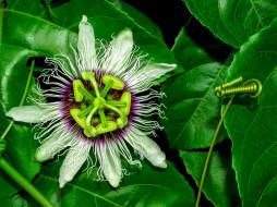 цветы, пассифлора, страстоцвет