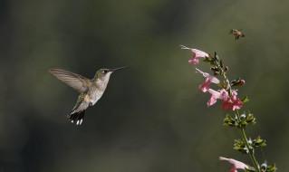животные, колибри, пчела, цветок
