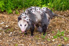 Possums, детёныши, opossum, опоссум, опоссумовые, опоссумы, зверёк, мех, хвостик, мордочка, млекопитающие