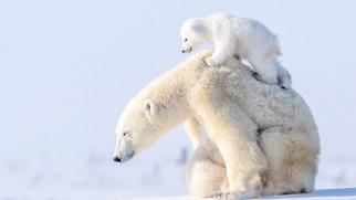 белый полярный медведь,  медведица с медвежонком, животные, медведи, белый, медвежонок, медведица, полярный, медведь, хищники, медвежьи, млекопитающие, снег, мороз, льды, шерсть, когти, пасть, клыки