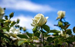 цветы, розы, белые, бутоны, кусты