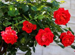 цветы, розы, алые, куст