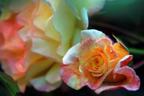 цветы, розы, бутон, роза, макро