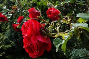 цветы, розы, куст, алые, капли