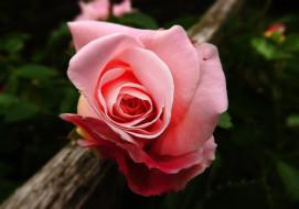 цветы, розы, розовая, роза, макро