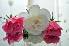 цветы, розы, бутоны, отражение, капли, трио