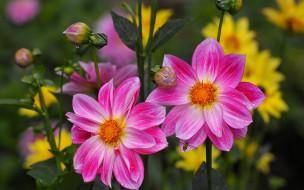 цветы, георгины, розовые, дуэт