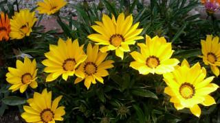 желтые, газании