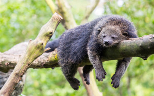 Binturong, бинтуронг, млекопитающие, виверровые, хищники, шерсть, морда, когти, хвост
