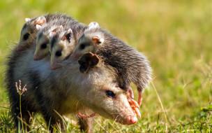 Opossum, опоссум, опоссумовые, опоссумы, зверёк, мех, хвостик, мордочка, млекопитающие