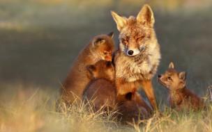 лисица, рыжая, лисята, псовые, лисицы, млекопитающие, мех, пушнина, лиса, хищник