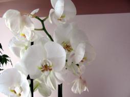 белые, орхидеи