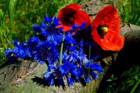 обои для рабочего стола 1920x1277 цветы, разные вместе, алые, маки, синие, васильки