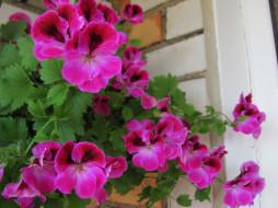 обои для рабочего стола 2560x1920 цветы, герань, розовая
