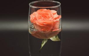 бокал, роза, бутон